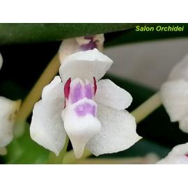 Tuberolabium quisumbingii (FS)