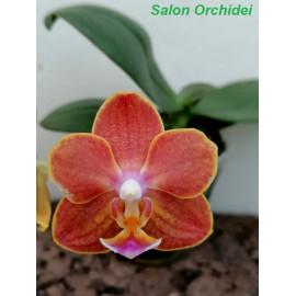 Phalaenopsis Allura Sabina...