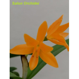 Cattleya aurantiaca yellow...
