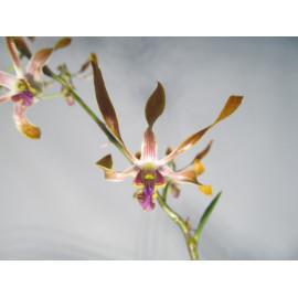 Dendrobium sutiknoi x...