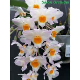 Dendrobium farmerii (NFS)