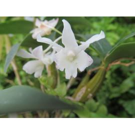 Dendrobium Nora Tokunaga x...