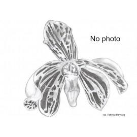 Coelogyne tomentosa (FS)