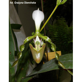 Paphiopedilum dianthum (NFS)