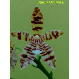 Phalaenopsis cornu-cervi x...