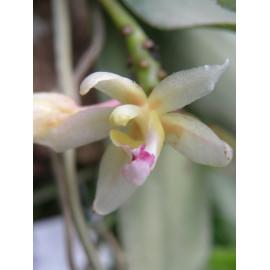 Brachypeza laotica (FS)