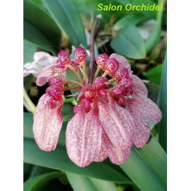 Bulbophyllum eberhardtii (FS)