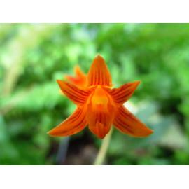 Bifrenaria aureofulva (FS)