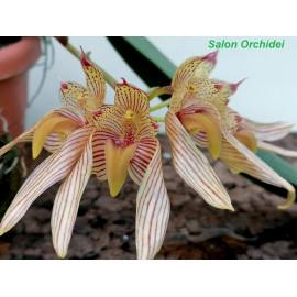 Bulbophyllum bicolor (FS)