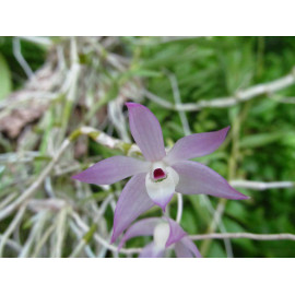 Dendrobium hercoglossum (FS)