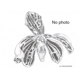 Bulbophyllum purpureifolium...