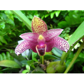 Bulbophyllum sumatranum (FS)