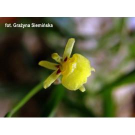 Sigmatostalix graminea (FS)