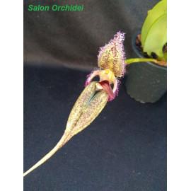 Bulbophyllum romnyi (FS)
