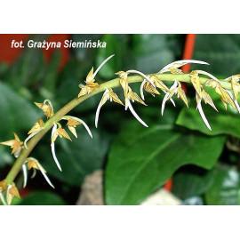 Bulbophyllum rufinum (FS)