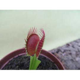 Dionaea muscipula 'Low...