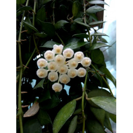 Hoya lacunosa 'Tove'