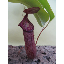 Nepenthes robcantleyi x...