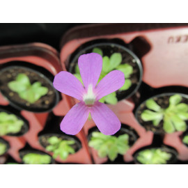 Pinguicula 'Weser' (FS)
