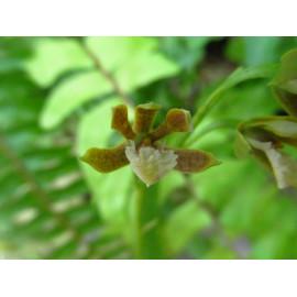 Epidendrum ledifolium (FS)