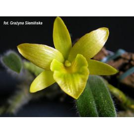 Dendrobium senile (FS)