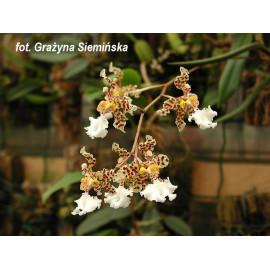 Oncidium jonesianum (FS)