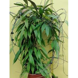 Hoya pubicalyx 'Royal...