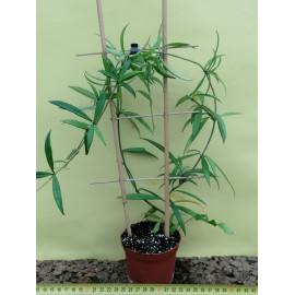 Hoya pauciflora