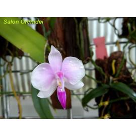 Phalaenopsis lowii (FS)