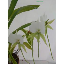 Angraecum eburneum (FS)