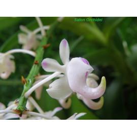 Aerides odorata (FS)