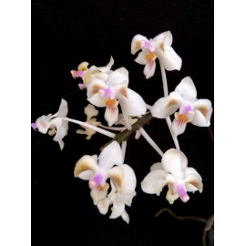 Phalaenopsis celebensis (FS)