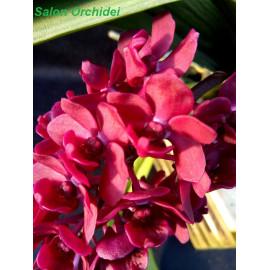 Rhynchostylis gigantea Red...
