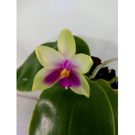 Phalaenopsis bellina Chn (FS)
