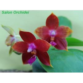 Phalaenopsis Yaphon Nice...