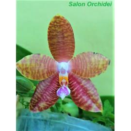 Phalaenopsis Mituo Gelb...