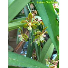 Cleisostoma birmanicum (FS)