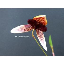 Bulbophyllum elassoglossum...