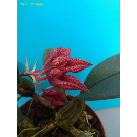 Bulbophyllum frostii (FS)