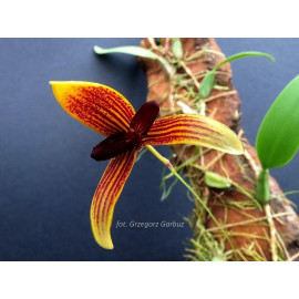 Bulbophyllum pardalotum (FS)