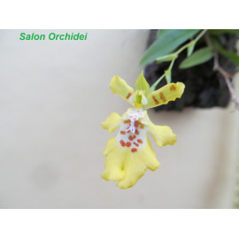 Erycina crista-galli (FS)