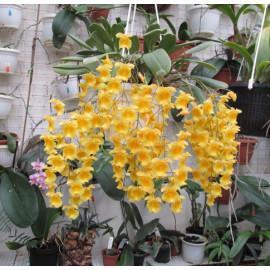 Dendrobium aggregatum...