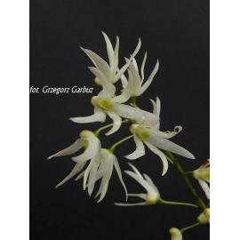 Dendrobium linguiforme (FS)