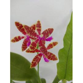 Phalaenopsis bastianii (FS)