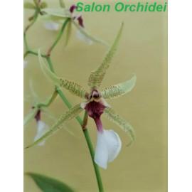 Oncidium spec. (FS)