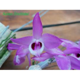 Dendrobium parishii (FS)