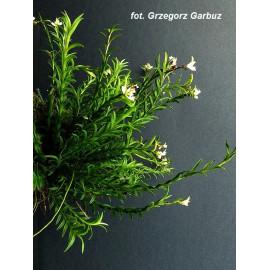 Podochilus cultratus (FS)