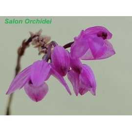 Nageliella purpurea (FS)