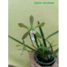 Encyclia garciae-esquivelii...