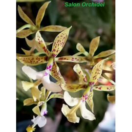 Epidendrum stamfordianum (FS)